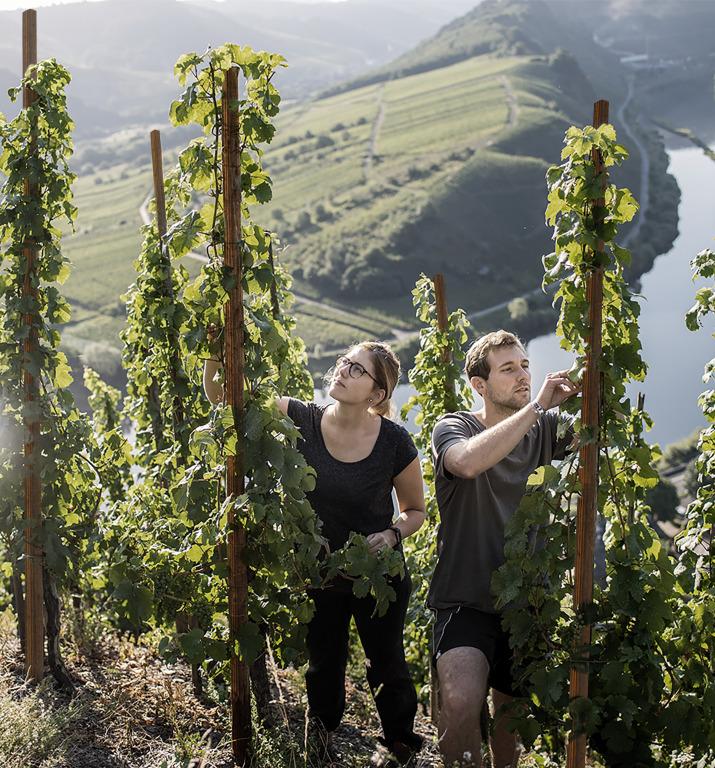 #zukunftauskrems: Winzer setzen mit leova auf nachhaltigen Weinbergpfahl